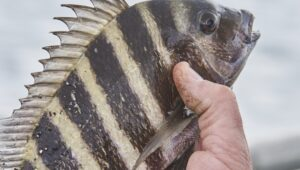 sheepshead fish just caught and being held by fisherman